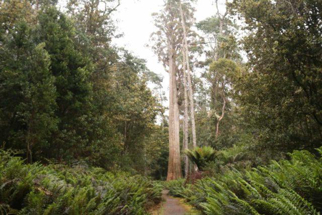 Liffey_Falls_17_003_11242017 - Approaching the giant eucalyptus tree near the upper car park