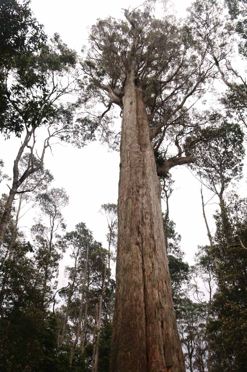 Looking up at the giant eucalyptus tree near the upper car park for the Liffey Falls Reserve
