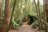Liffey_Falls_17_037_11242017 - Walking along the Liffey Falls Track flanked by ferns attesting to how moist this area is