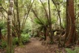 Liffey_Falls_17_040_11242017 - The Liffey Falls Track amongst ferns and trees