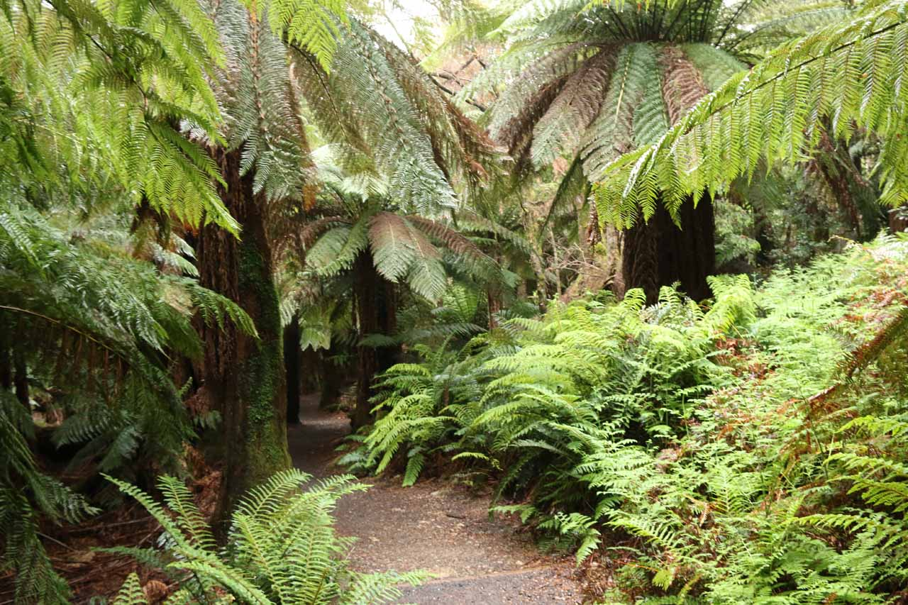 Now the track descended deep enough to be within the lush fern-filled rainforest