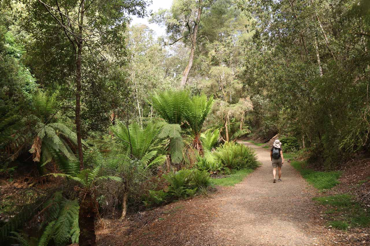 The Lilydale Falls Track was flanked by ferns and tall trees