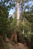 Lilydale_Falls_17_015_11232017 - The junction where a spur track descending to the first Lilydale Falls was towered over by a very tall gum tree
