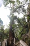 Lilydale_Falls_17_036_11232017 - Back at the familiar tall tree at the top of the climb of the Lilydale Falls Track as we pursued the Second Falls during our November 2017 visit