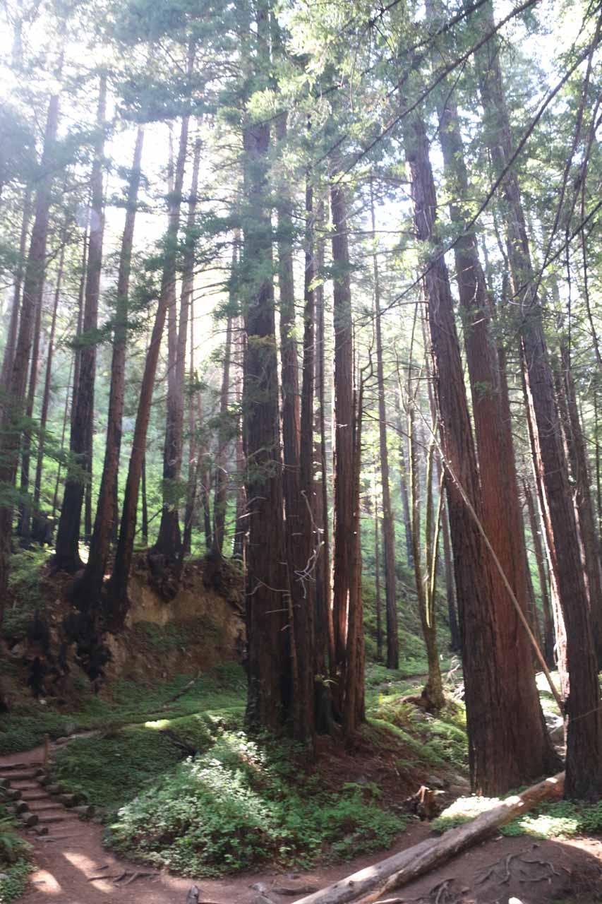 Weaving between coastal redwoods as I left Limekiln Falls
