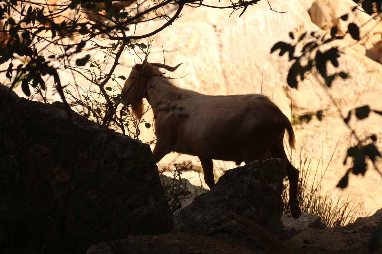 We noticed this mountain goat while hiking within the gorge alongside the Río Guadalquivir