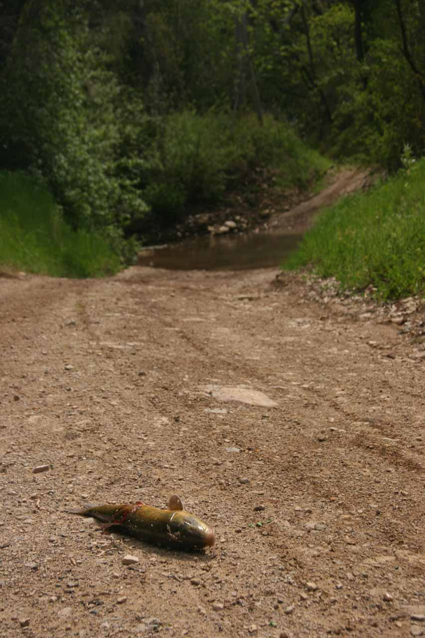 Carp on the road