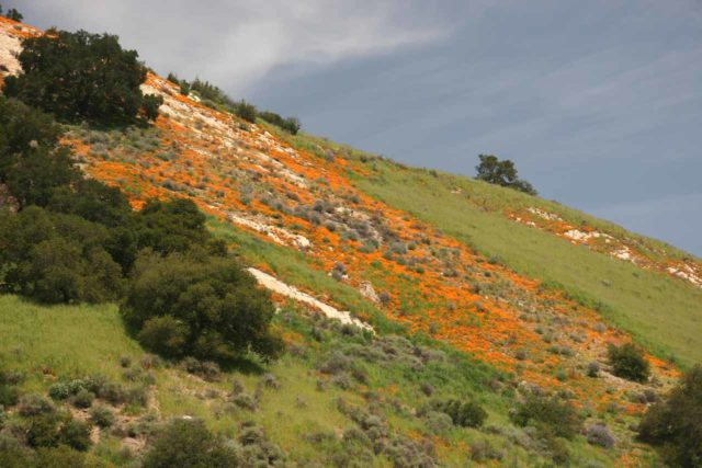 Little_Falls_054_03202010 - Looking up at a fairly large mat of California Poppies blooming on a steep hillside from the remote road en route to Upper Lopez Canyon and the Little Falls