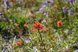 Loowit_Falls_023_06252021 - Looking at reddish wildflowers blooming alongside the unpaved road en route to Loowit Falls