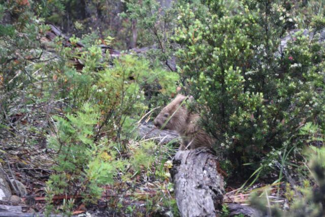Lost_Falls_Tassie_006_11252017 - This wombat crossed the Crossins Rd as we were making our way to Lost Falls, but then it decided to hide and play possum until we left