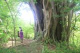 Louniel_010_11262014 - Our hiking route passed by this intriguing banyan tree