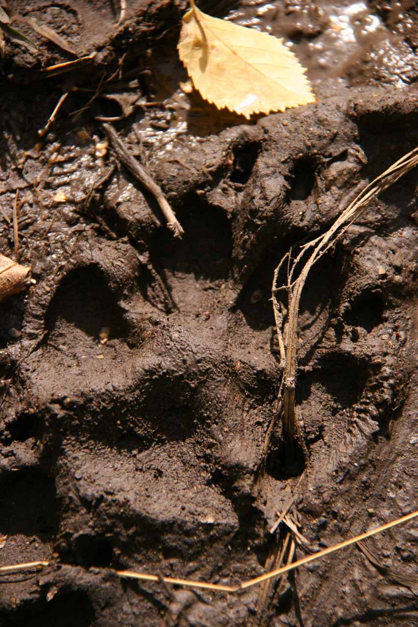 Grizzly bear paw print?