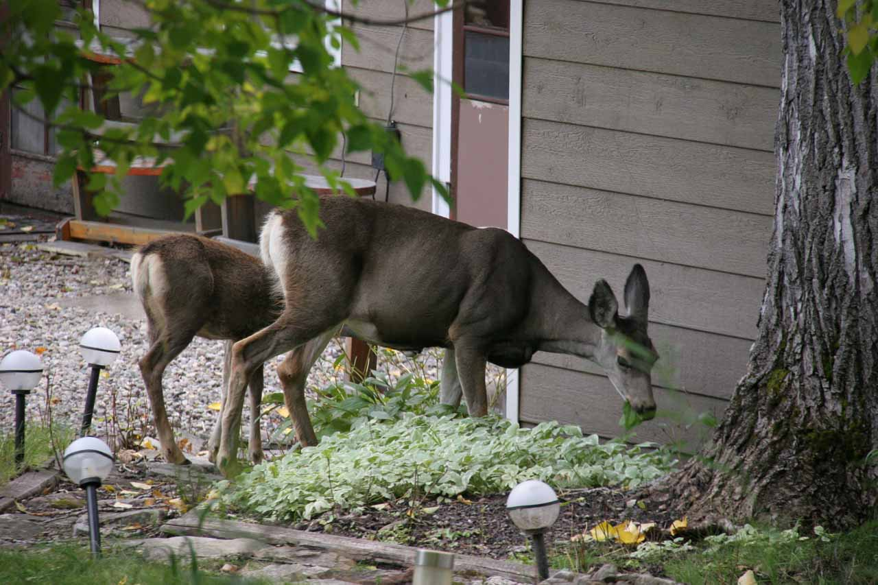 These deer looked like they were eating away at someone's plants near the trailhead