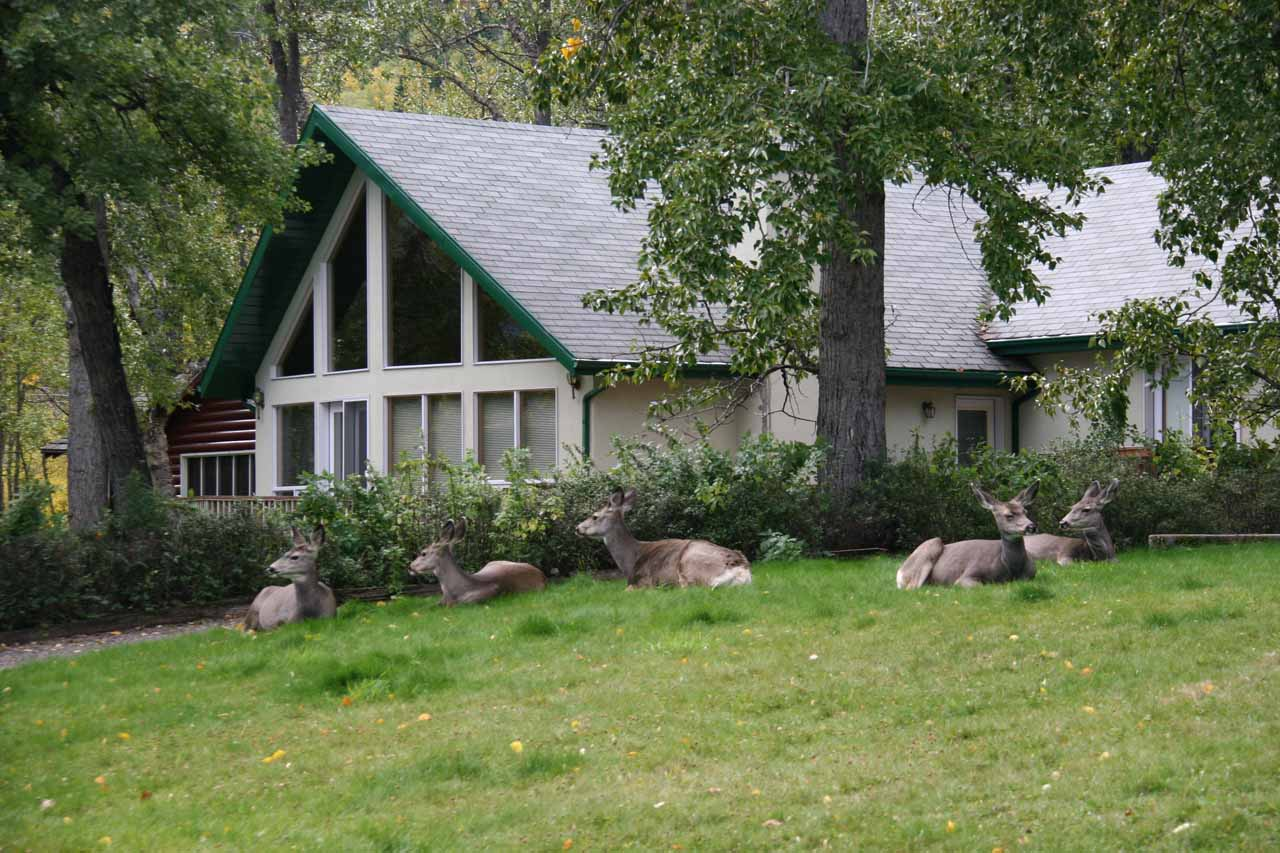 Many deer who have made Waterton town their home to better their odds of survival in a land surrounded by their predators