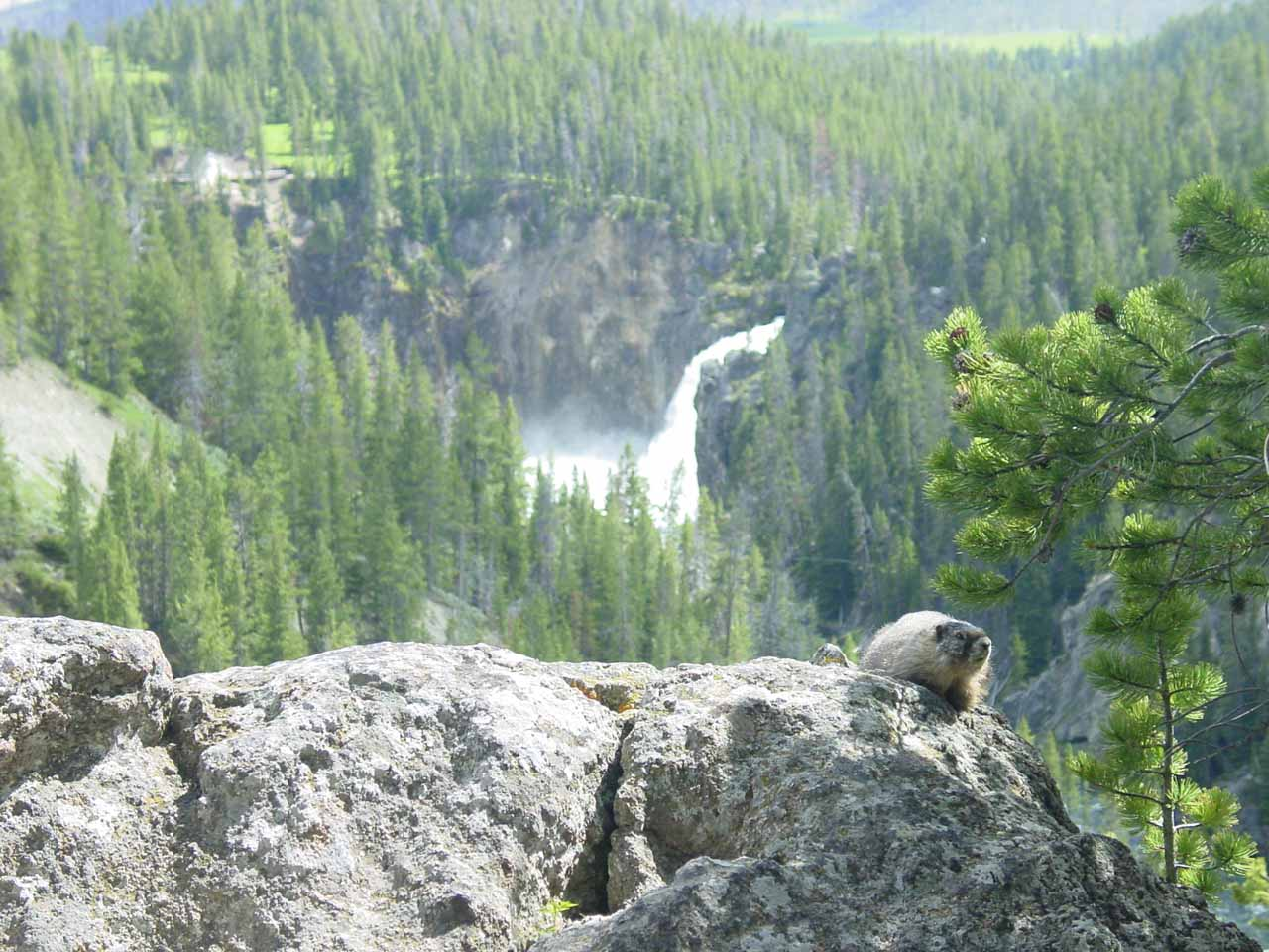 While seeking out the brink of the Lower Falls in June 2004, we managed to get this view of a marmot before the distant falls