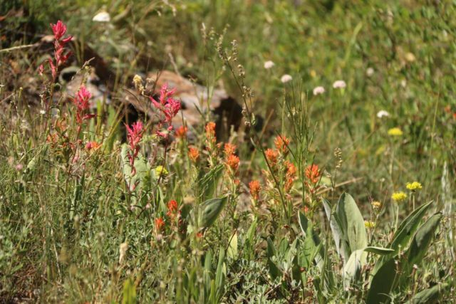 Lundy_Canyon_205_07112016 - Wildflowers were definitely in bloom in Lundy Canyon in July