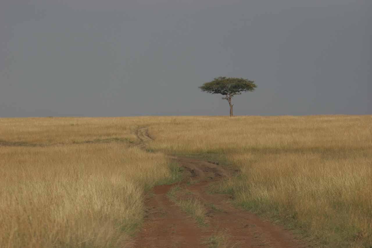 Lone acacia tree in classic Mara scenery