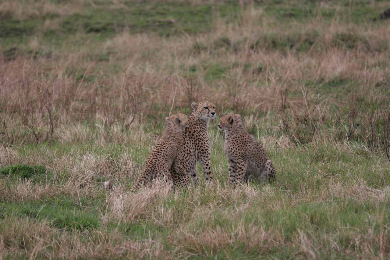 Mother and two cheetah cubs