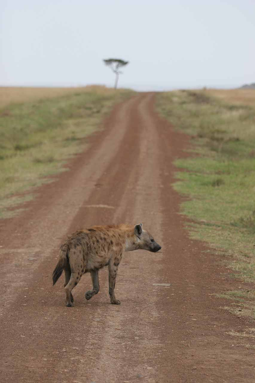 Hyena on road