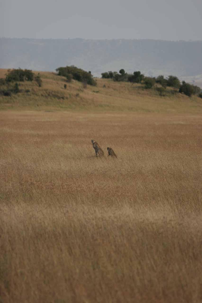 Pair of cheetah brothers