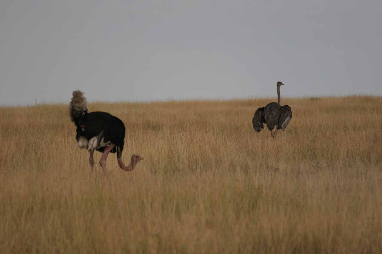 Pair of ostriches