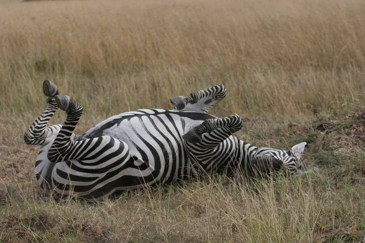A zebra in the Maasai Mara on its back trying to scratch its itch back there