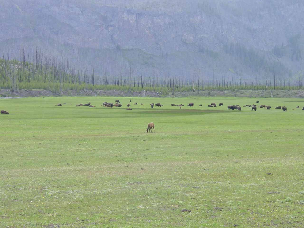 A large herd of bison and elk near Madison Junction