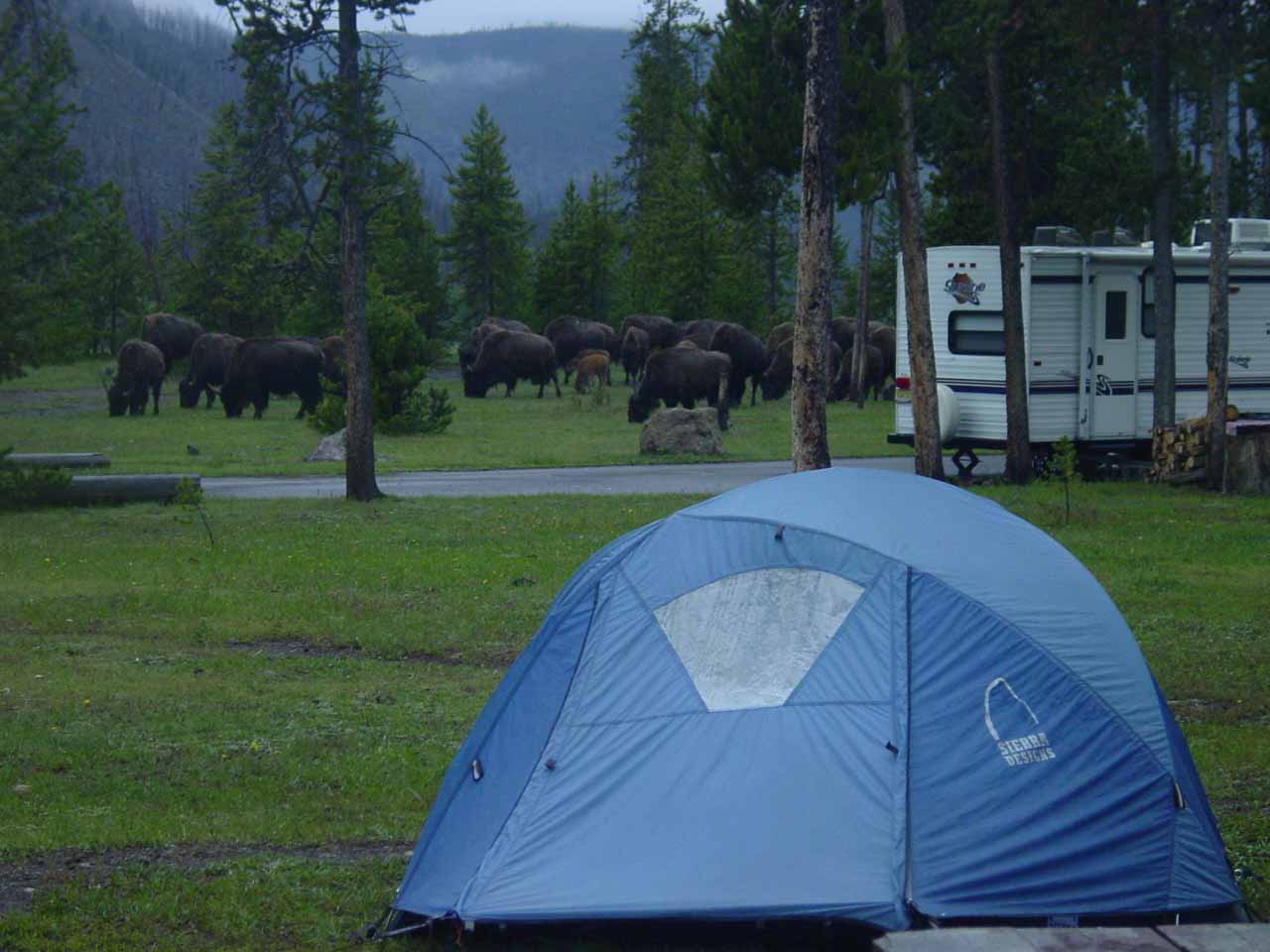 A herd of bison moving right into a neighbor's campsite