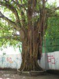 Male_007_jx_11222009 - A Banyan tree
