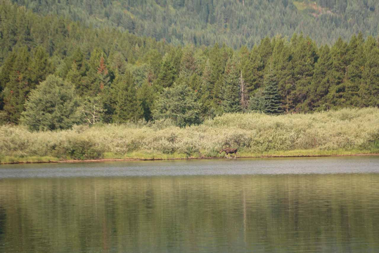 While waiting for the boat to arrive, I managed to score this moose sighting on the opposite end of Swiftcurrent Lake