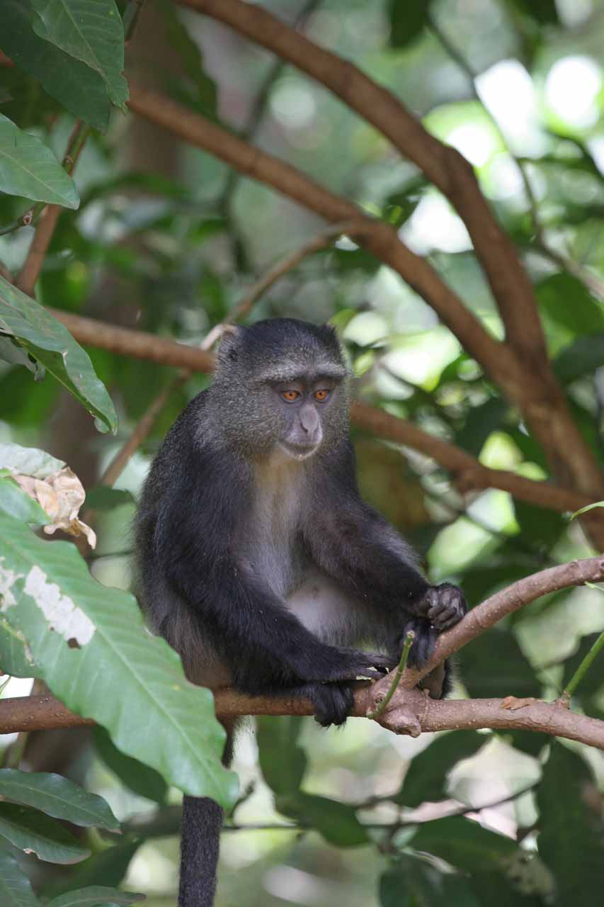 The less-common blue-faced monkey
