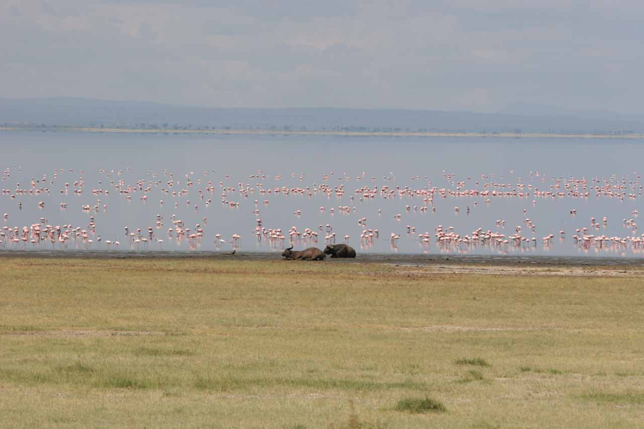 Flamingoes and some cape buffalo at Lake Manyara