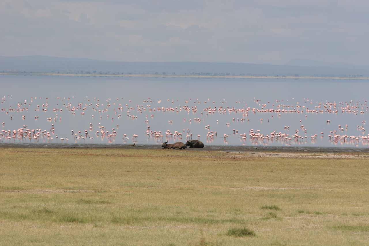 Flamingoes and some cape buffalo at Lake Manyara