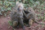 Manyara_135_06072008 - Grooming baboons