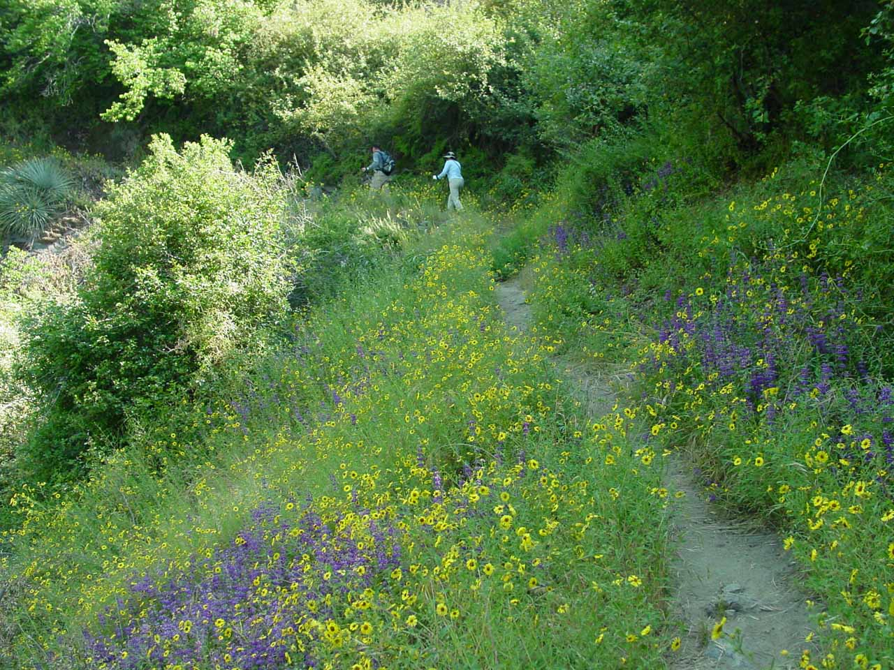 Lots of wildflowers (as well as tick-infested overgrowth) flanking the narrow trail