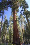 Mariposa_Grove_003_02182013 - A big redwood at the car park