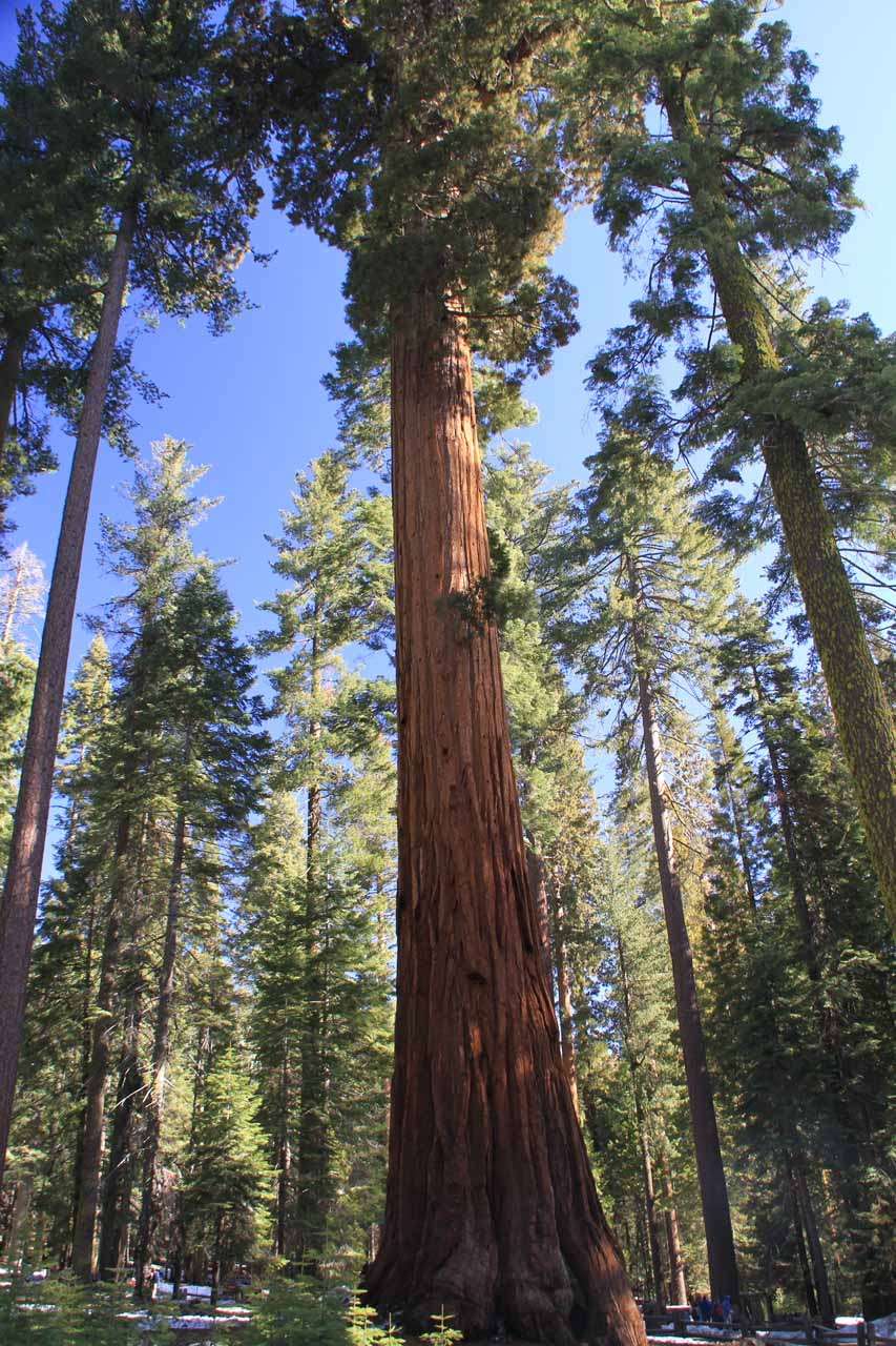 A big redwood at the car park