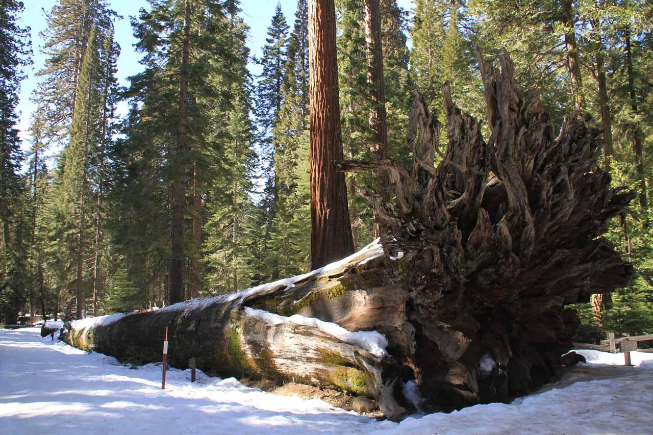 A giant fallen sequoia near the car park