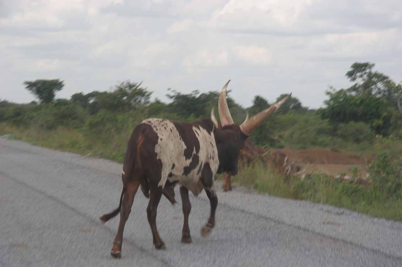 A large-horned cow crossing the paved road