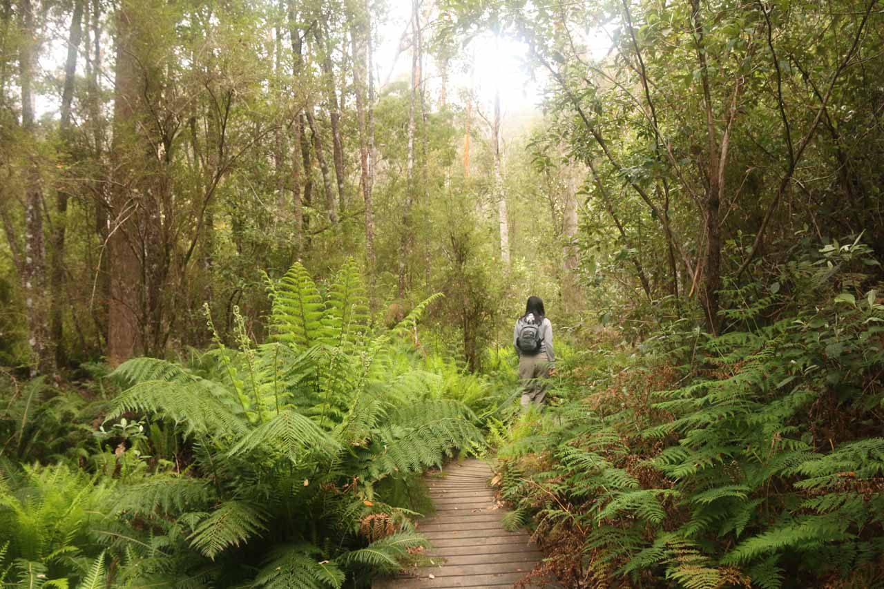 This part of the track had boardwalk, which was there to protect the fragile soil, especially where the ferns were growing as the soil had the most moisture in those spots