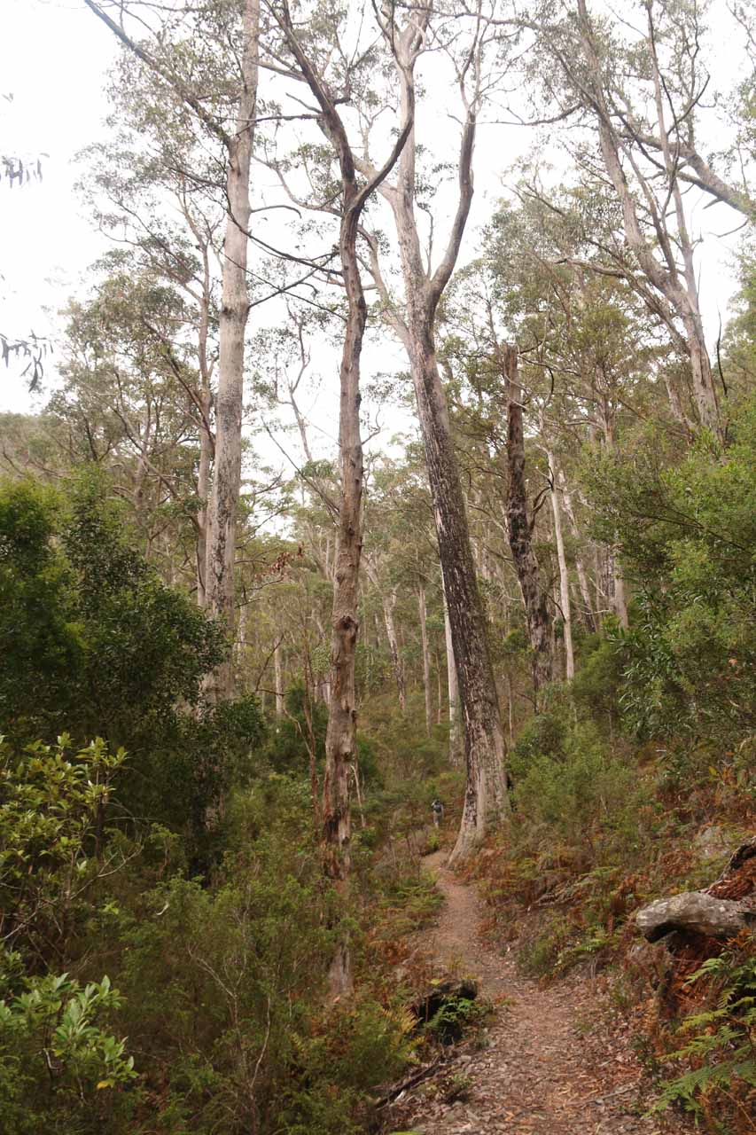 Walking through a more open part of the Mathinna Falls Track, where some of these trees looked like they might have experienced a bushfire or two