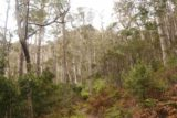 Mathinna_Falls_17_016_11242017 - Continuing on the primitive Mathinna Falls Track during our November 2017 visit, which passed through a lot of ghostly-looking trees in this stretch
