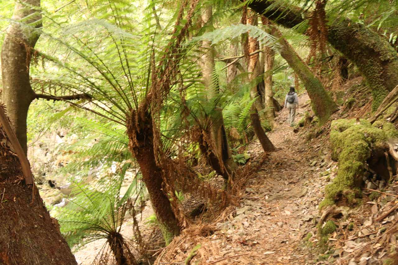 Julie almost at the Mathinna Falls as large ferns were lining the narrow track along Delvin Creek