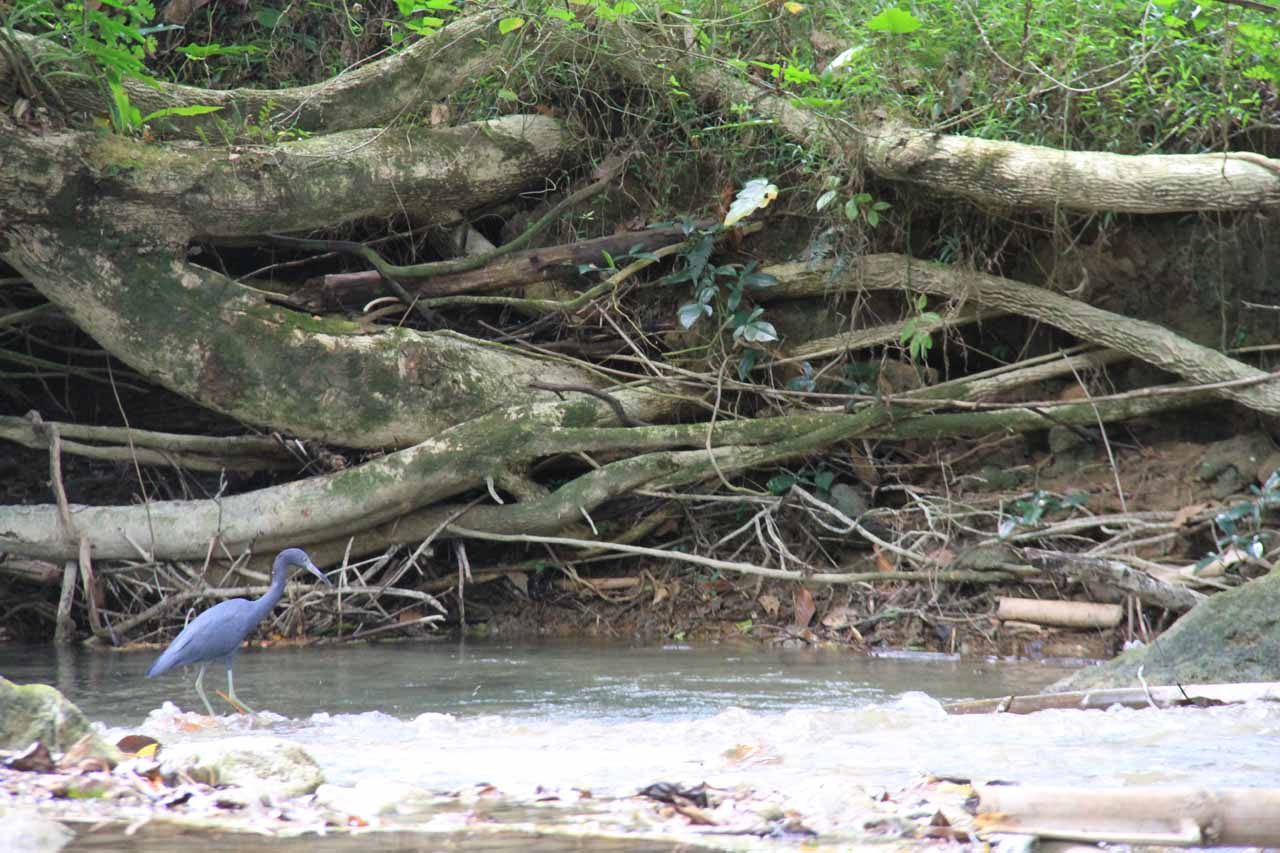 We saw this pretty blue heron near the first waterfall
