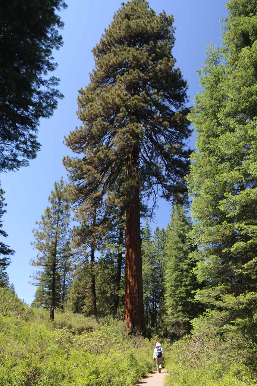 One of the tall trees seen as we made our way between the Lower Falls and the Fowler's Campground