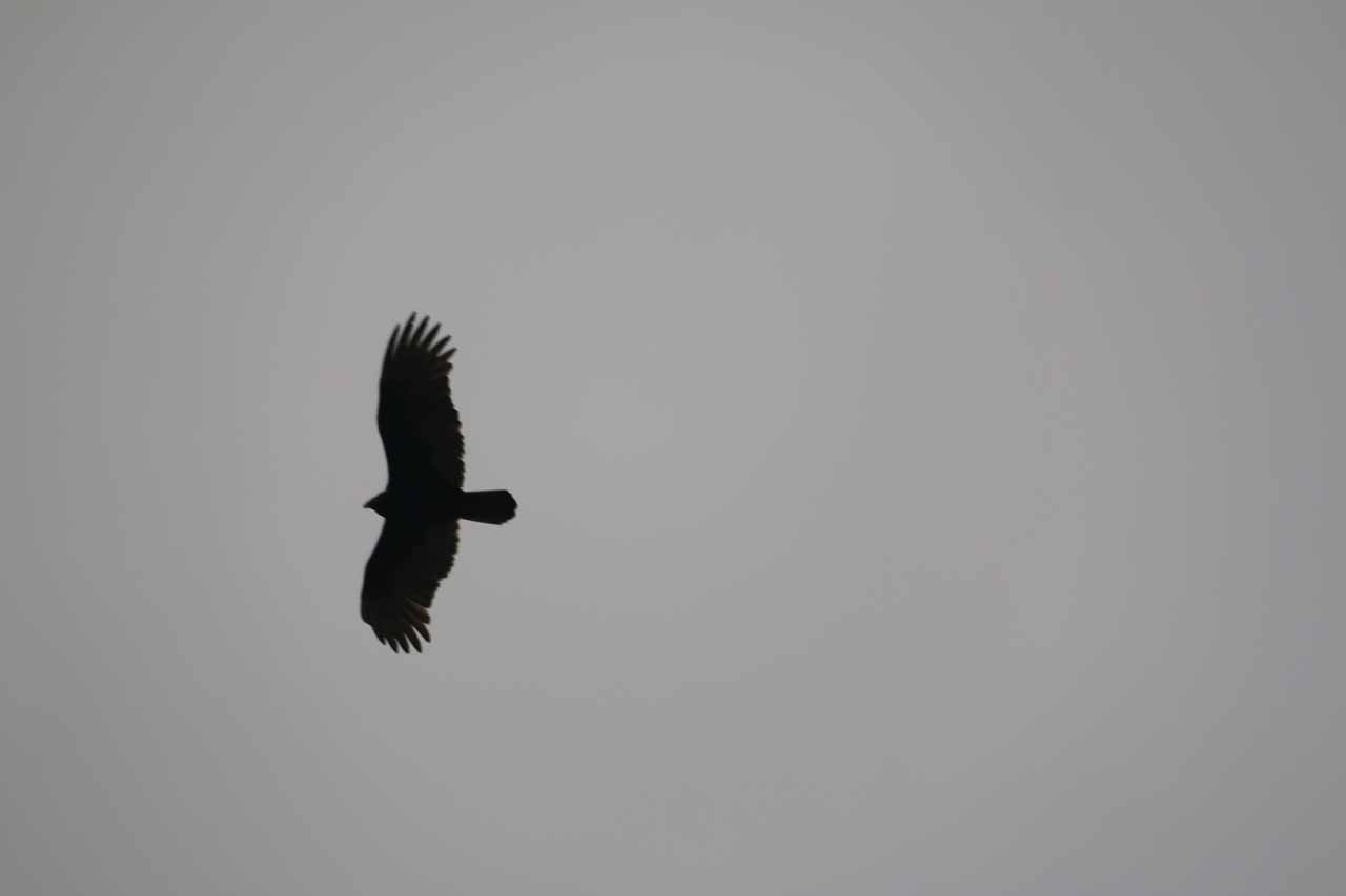 We noticed these graceful big birds flying high above the Upper McKinney Falls vicinity though we weren't sure what kind of birds they were