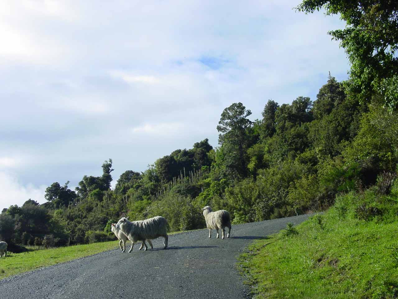 Sharing the Rewcastle Road with sheep
