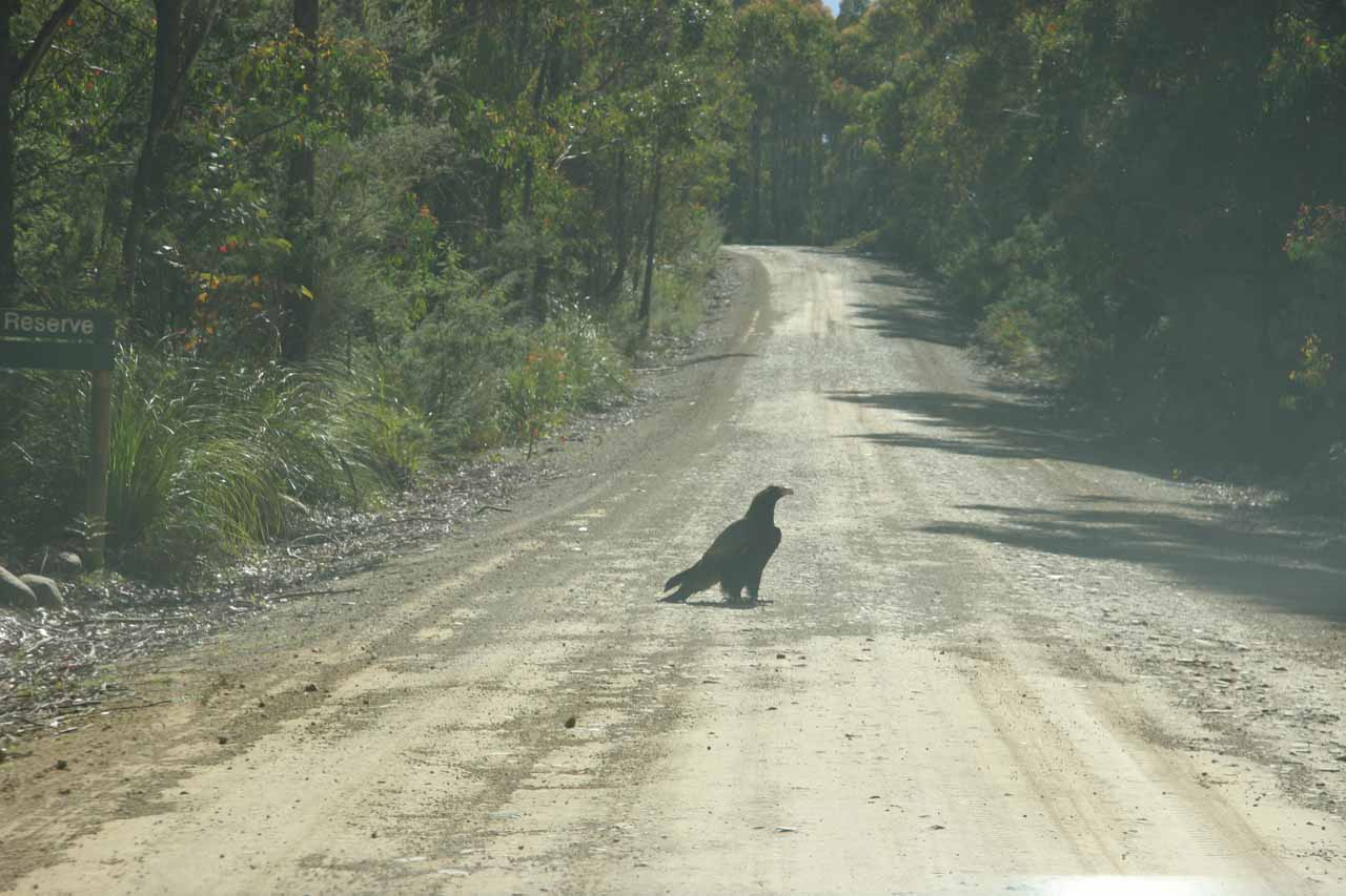 One of those giant black eagles on the road to Meetus Falls
