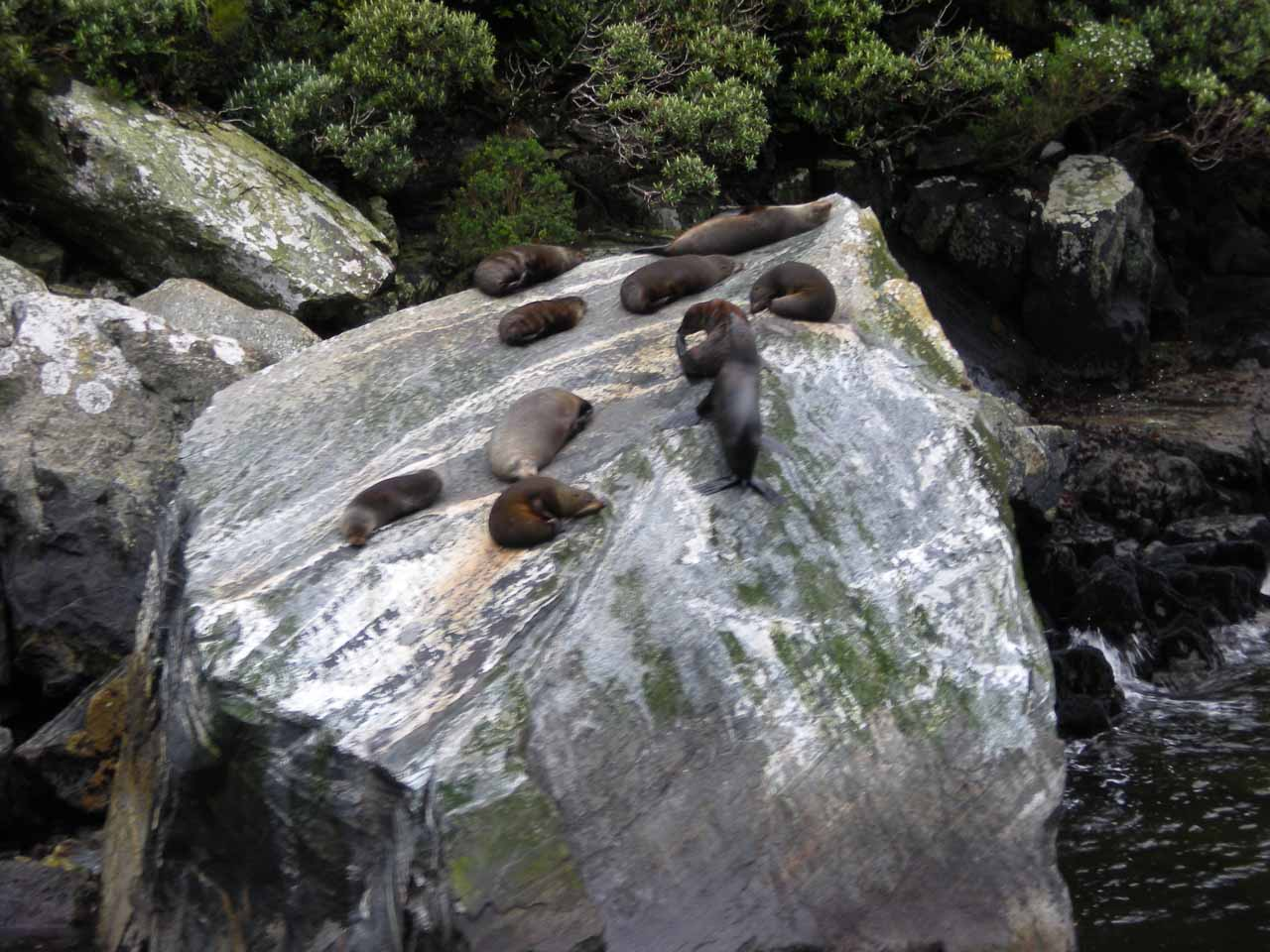 This time there were many more fur seals atop the rock during our 2009 cruise