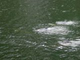 Milford_Sound_032_11302004 - Not far from Bowen Falls in late November 2004, there were dolphins swimming around our cruise vessel